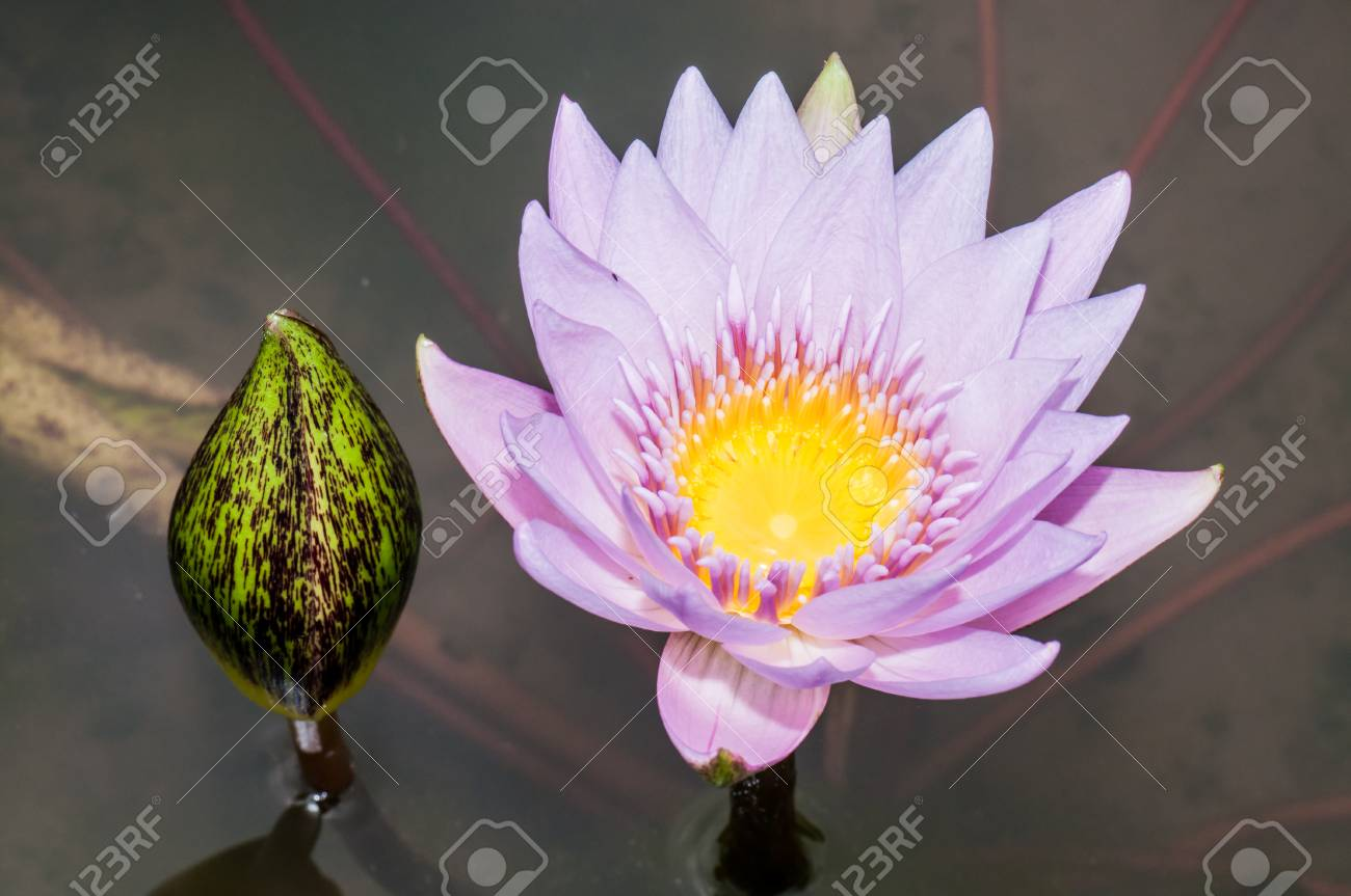 Close Up Inside Of Violet Lotus Flower Thailand Stock Photo