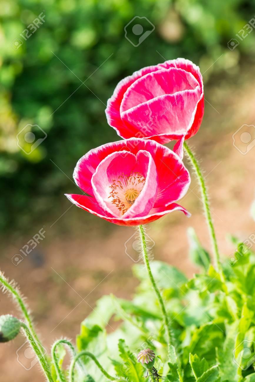 Close up of opium poppy flower thailand stock photo picture and close up of opium poppy flower thailand stock photo 25757096 mightylinksfo