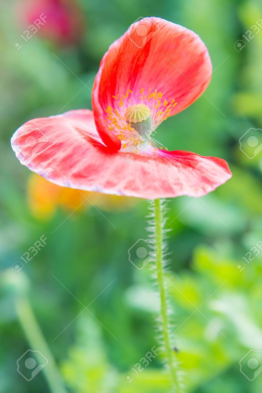 Close up of opium poppy flower thailand stock photo picture and close up of opium poppy flower thailand stock photo 27364831 mightylinksfo