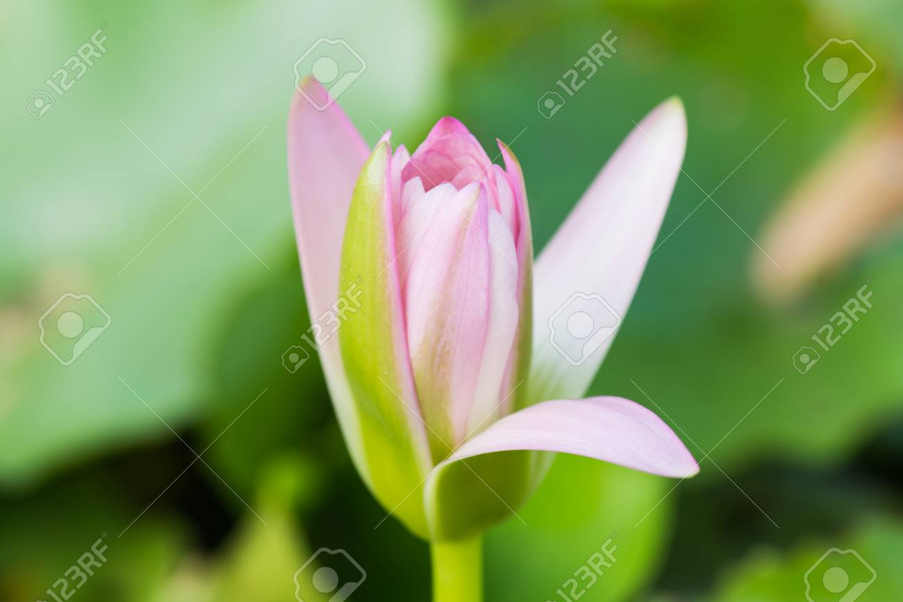 Close Up Of Pink Lotus Flower Thailand Stock Photo Picture And