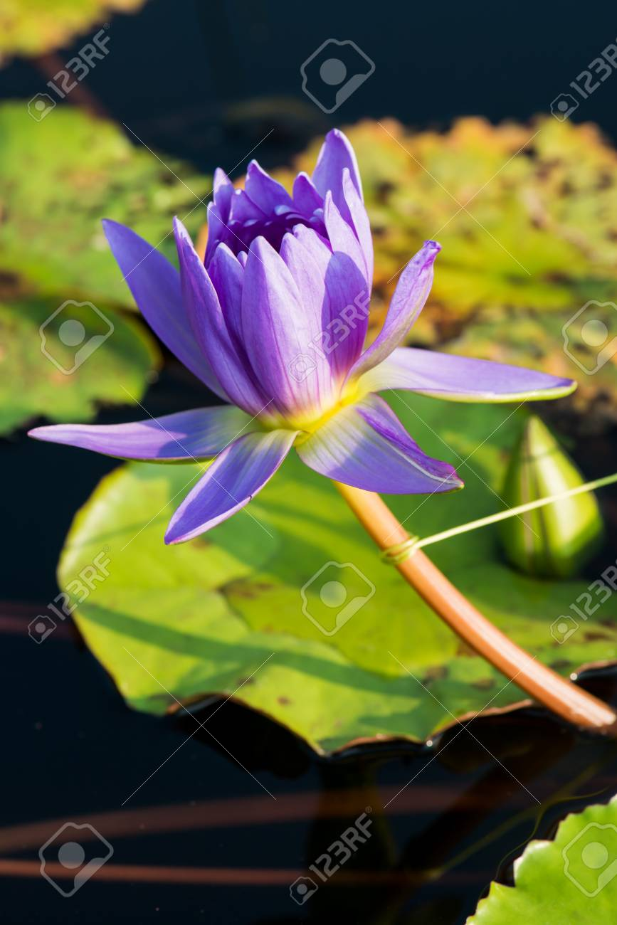 Close Up Of Violet Lotus Flower Thailand Stock Photo Picture And