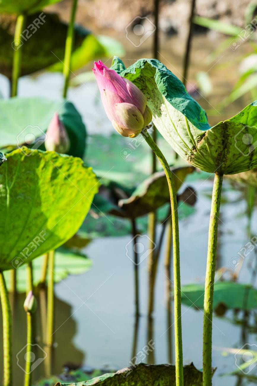Close Up Of Lotus Flower Thailand Stock Photo Picture And Royalty