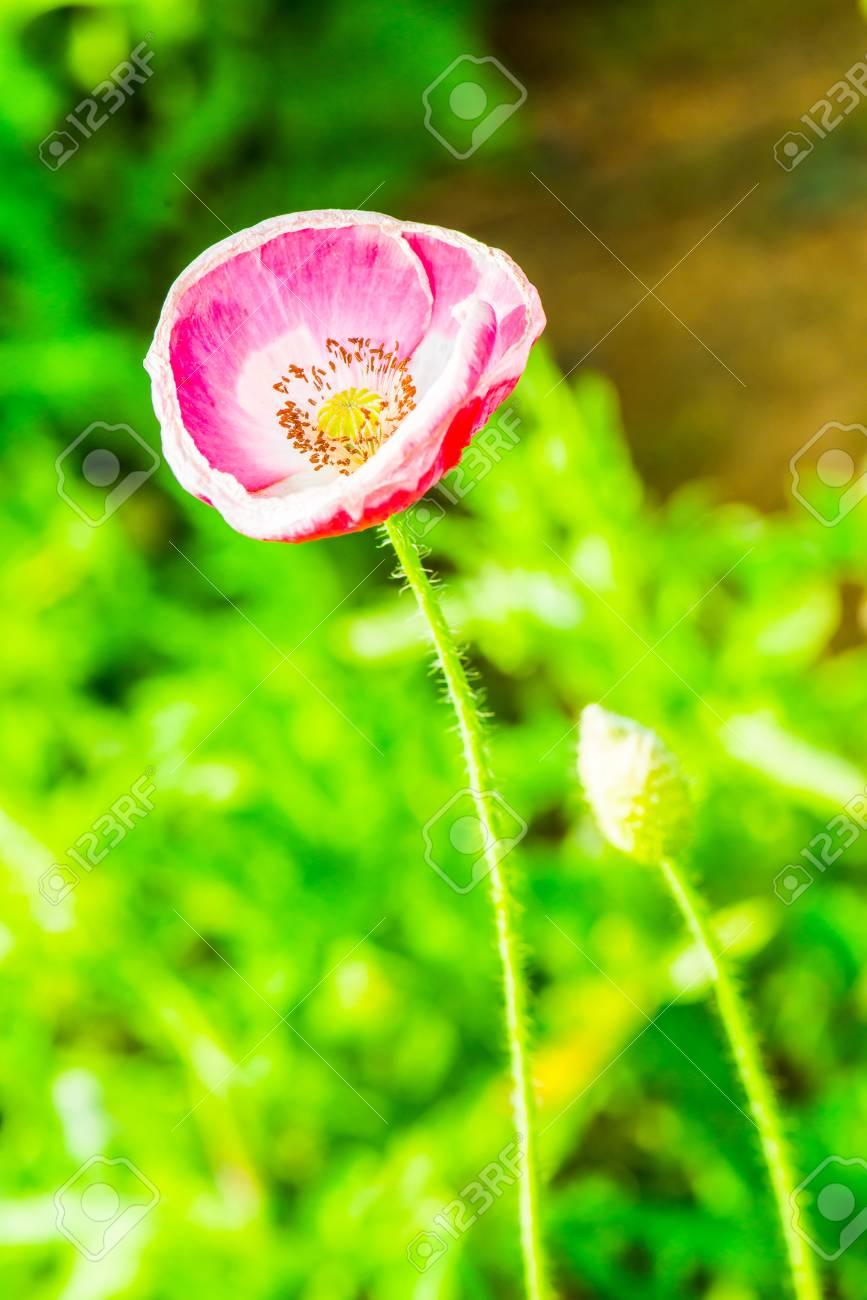Close up of opium poppy flower thailand stock photo picture and close up of opium poppy flower thailand stock photo 36918724 mightylinksfo