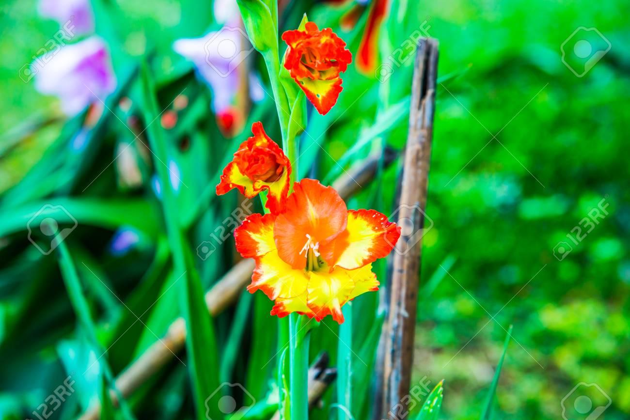 Beautiful flower in garden thailand stock photo picture and beautiful flower in garden thailand stock photo 78108416 izmirmasajfo