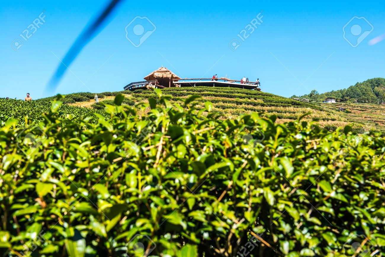 Paysage 2000 concernant vue du paysage à tea plantation 2000, thaïlande. banque d'images et