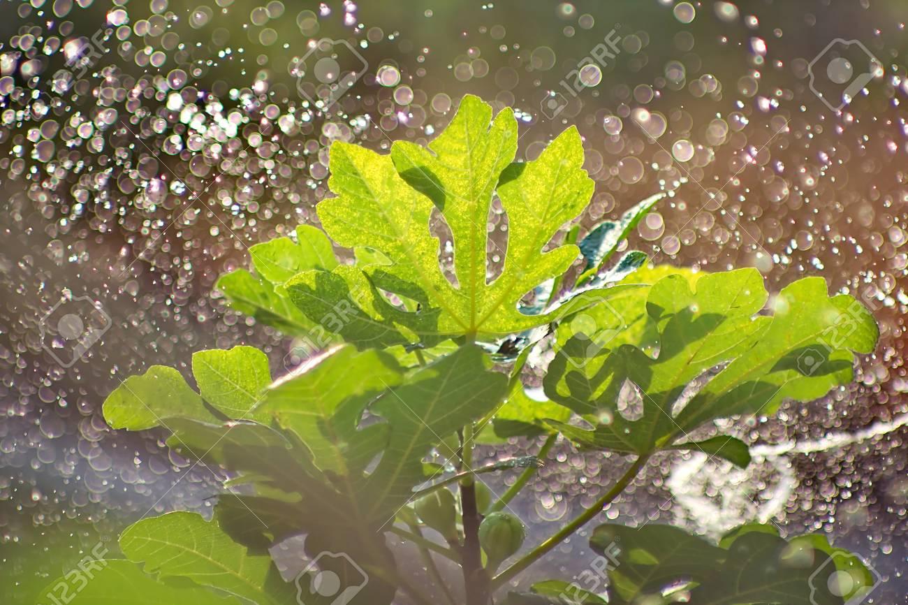 arroser un figuier en journée ensoleillée, avec la lumière du soleil