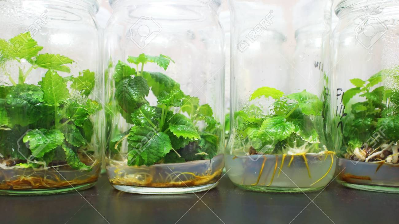 Figs plant tissue culture bottles in the lab