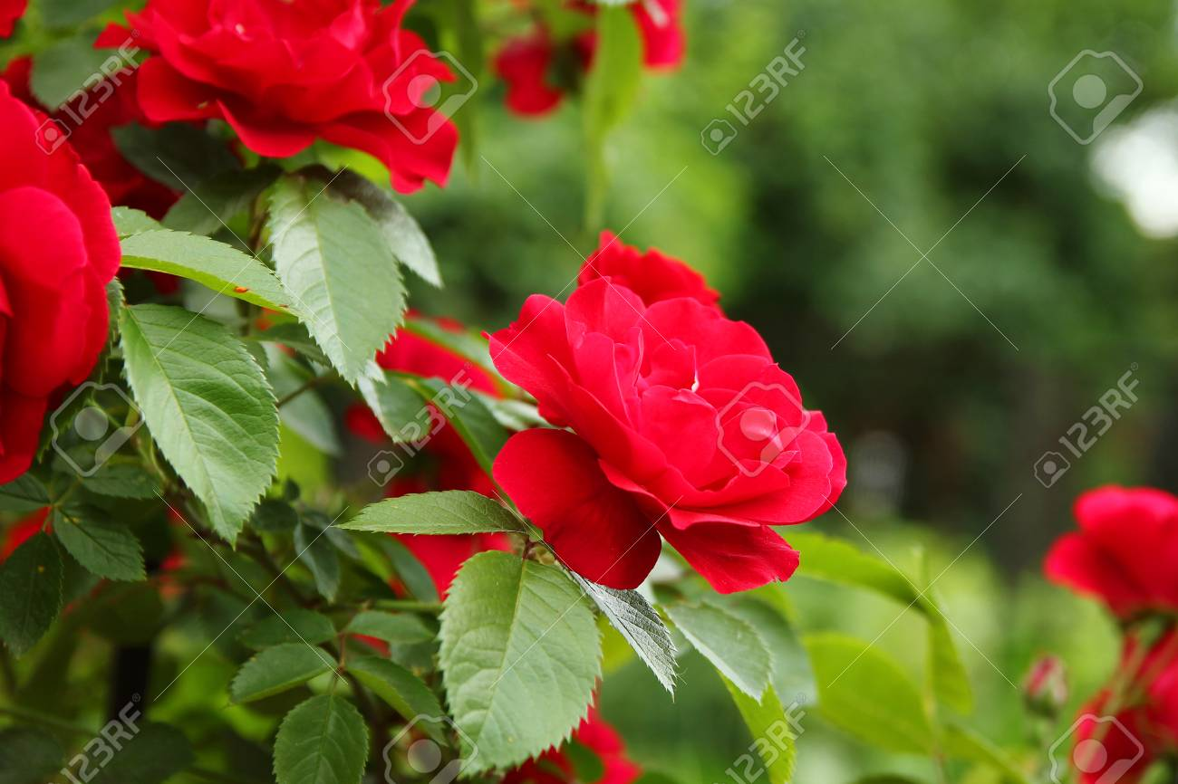Very Beautiful Branch Of Red Flowers Roses Stock Photo Picture And
