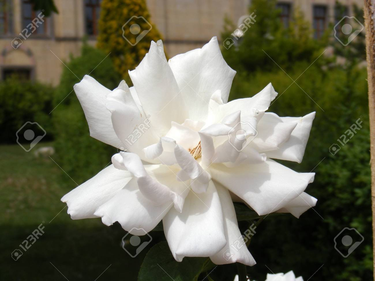 Pictures Of White Rose Flowers Pictures Of The Most Beautiful