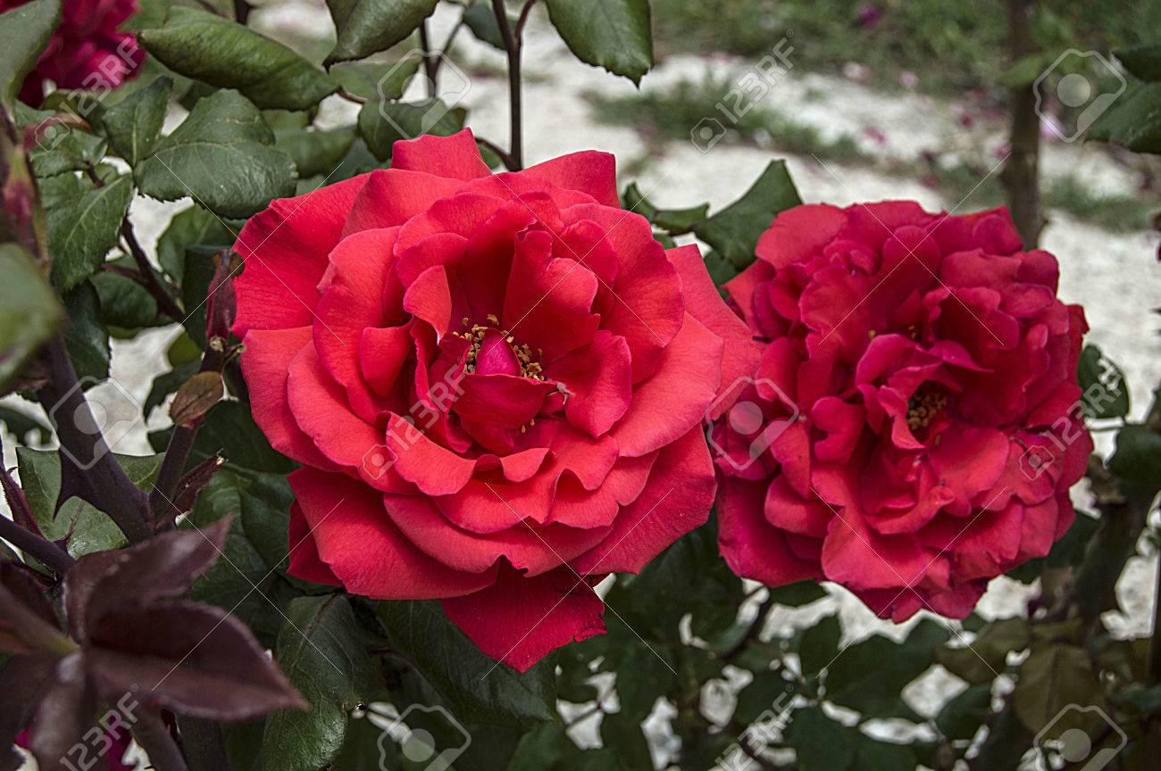 Archivio Fotografico   Rose, Rose Per Il Giorno Dellu0027amore, Le Più Belle  Rose Naturali Adatte Per Il Web Design, Rose Simbolo Di Amore, Boccioli Di  Rosa