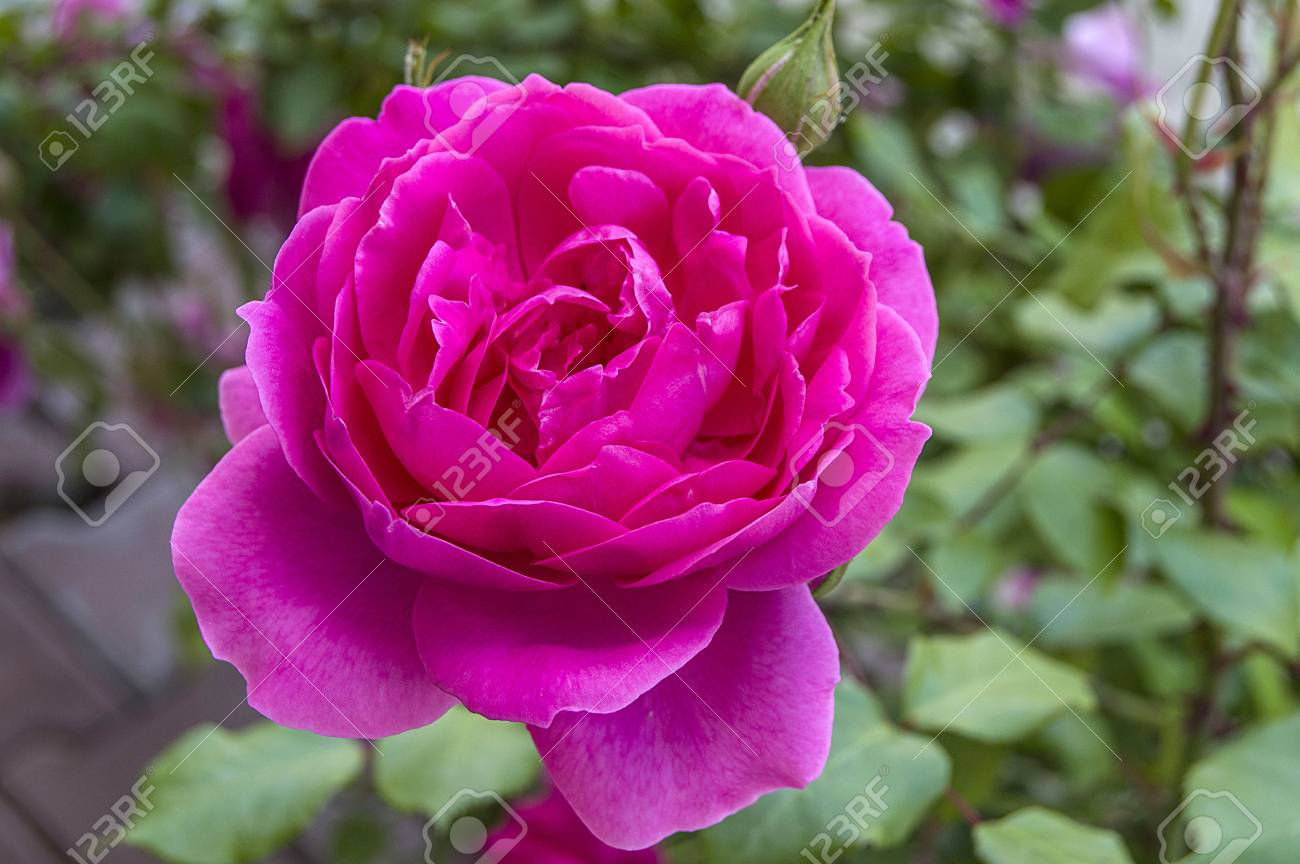 Pinturas Rosas Rosas De Colores Rosas Rosadas En El Jardín Fotos