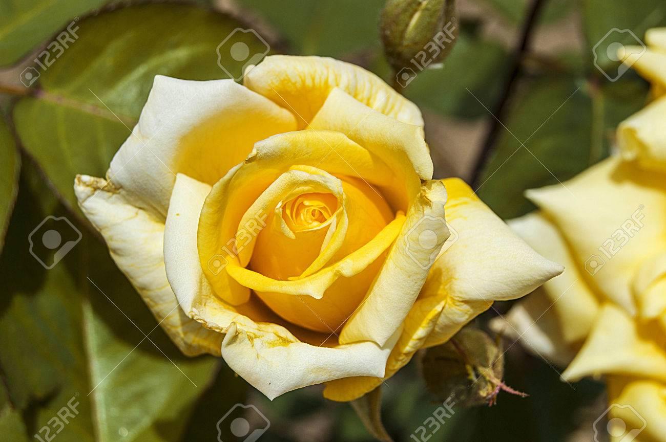 Rosas Símbolo De Amor Rosas Rosas Amarillas Para Amantes Día