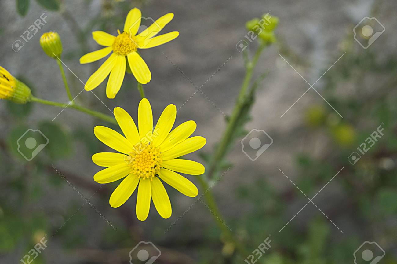 Yellow Daisy Flowers Pictures Of Daisy Flowers For Lovers Day