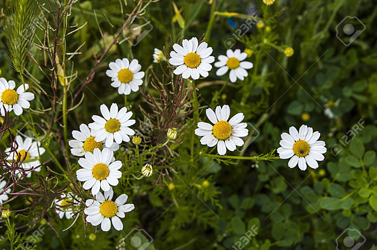 Daisy flowers pictures of daisy flowers for lovers day the stock daisy flowers pictures of daisy flowers for lovers day the most wonderful natural daisies izmirmasajfo