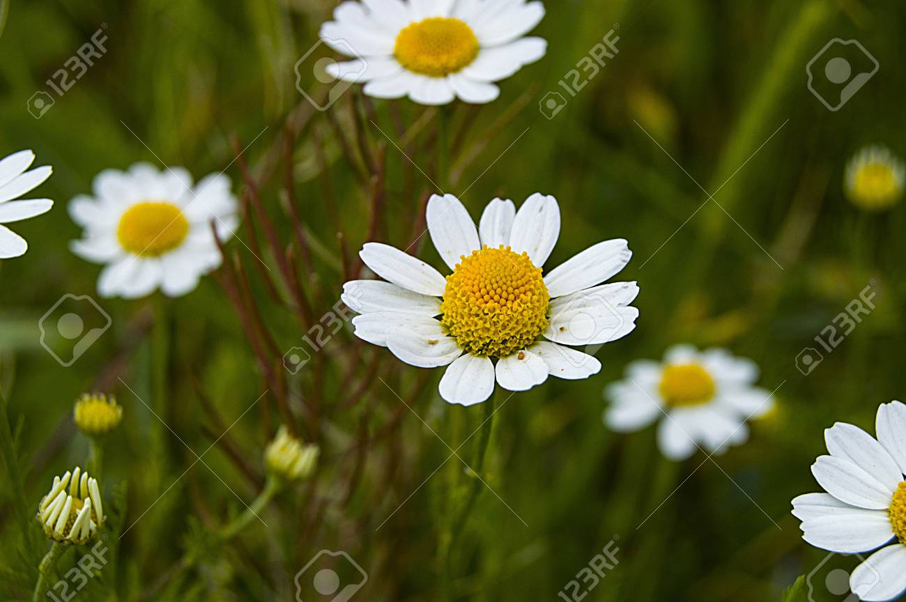 Daisy flowers pictures of daisy flowers for lovers day the stock daisy flowers pictures of daisy flowers for lovers day the most wonderful natural daisies izmirmasajfo Image collections