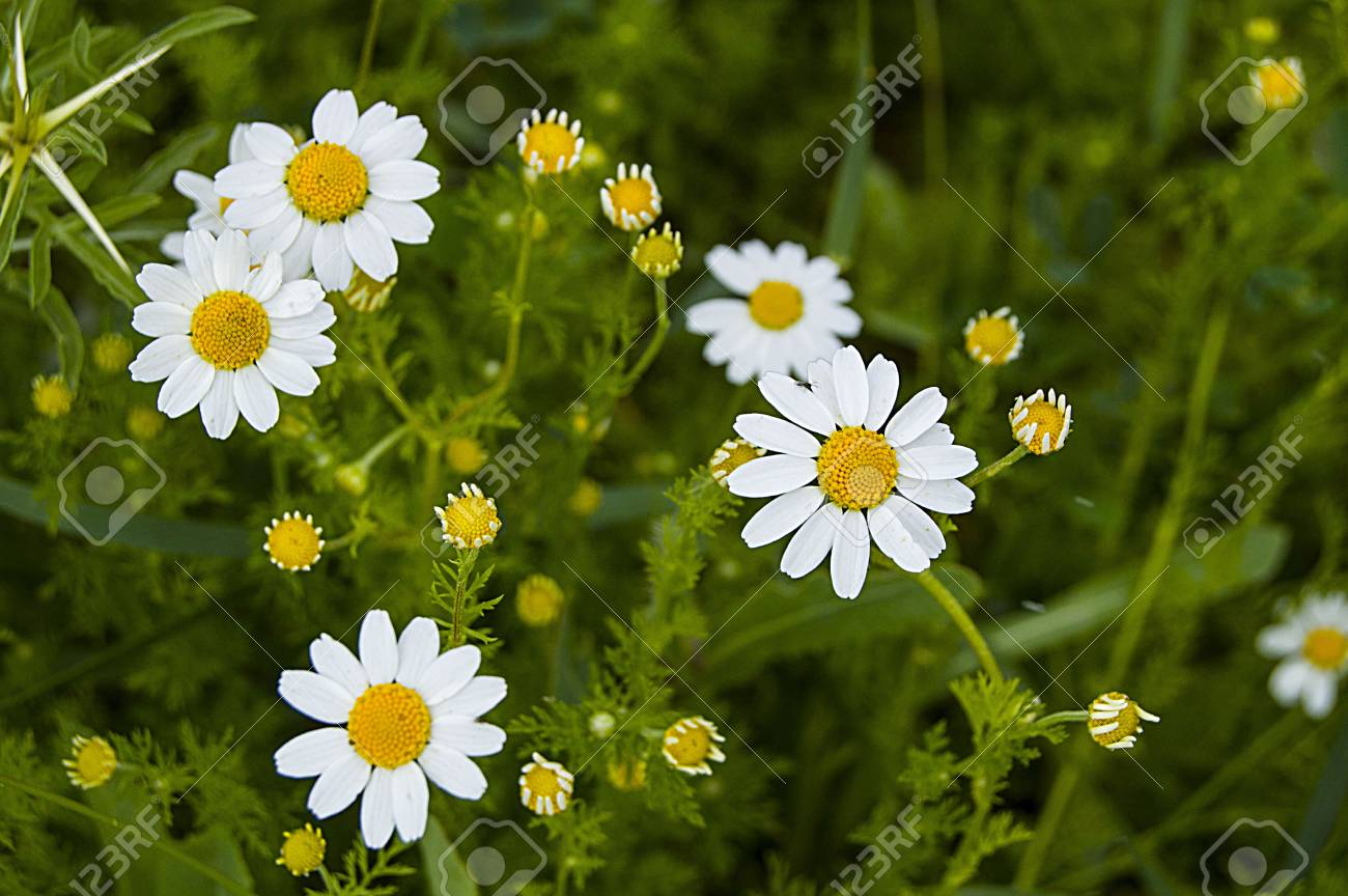 Daisy Flowers Pictures Of Daisy Flowers For Lovers Day The Stock