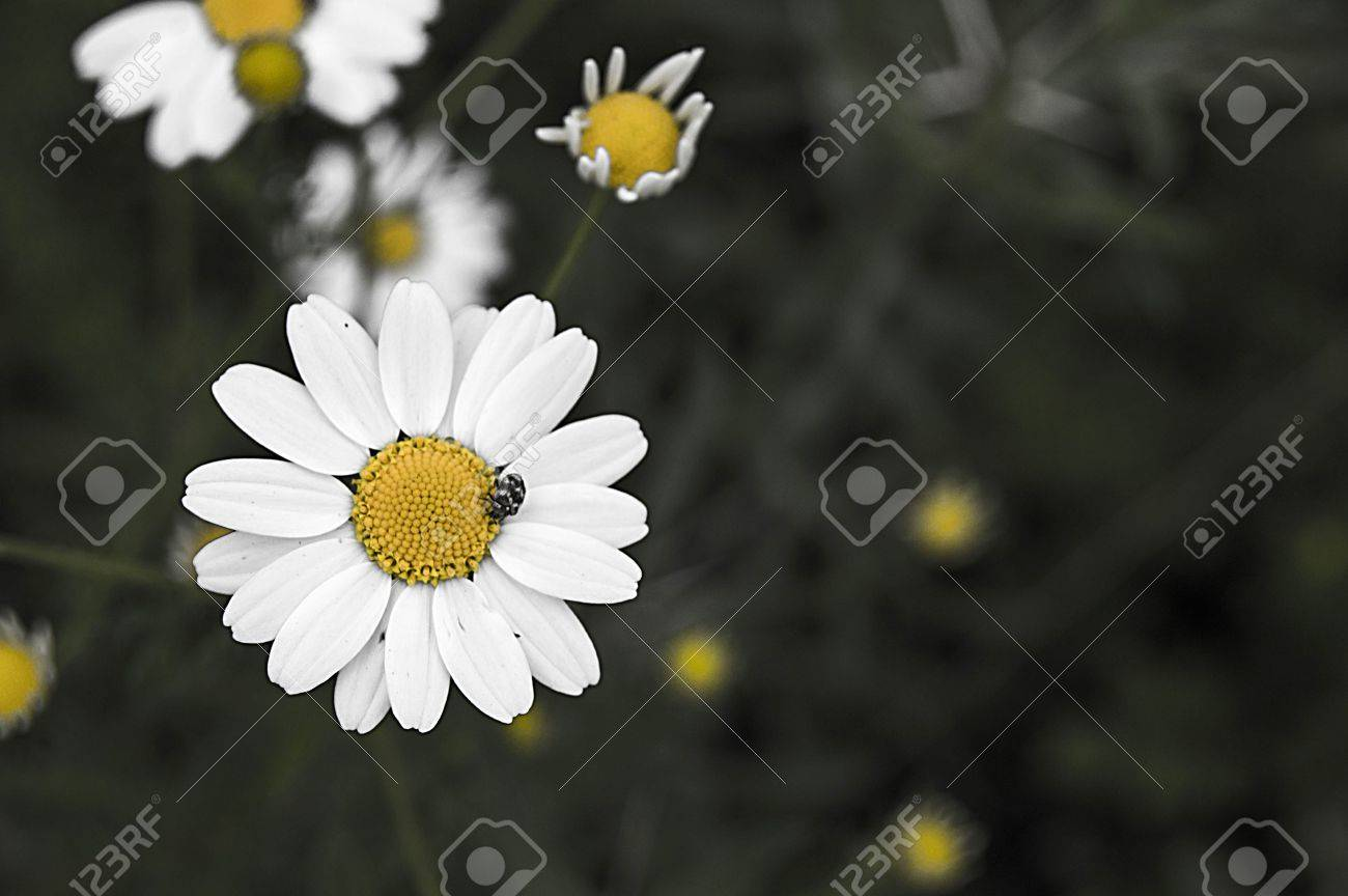Daisy flowers pictures of daisy flowers for lovers day the stock daisy flowers pictures of daisy flowers for lovers day the most wonderful natural daisies izmirmasajfo Images