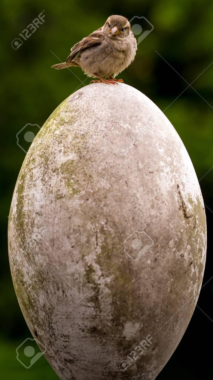 Pequeño Pájaro Huevo Grande El Gorrión Passer Domesticus Está ...