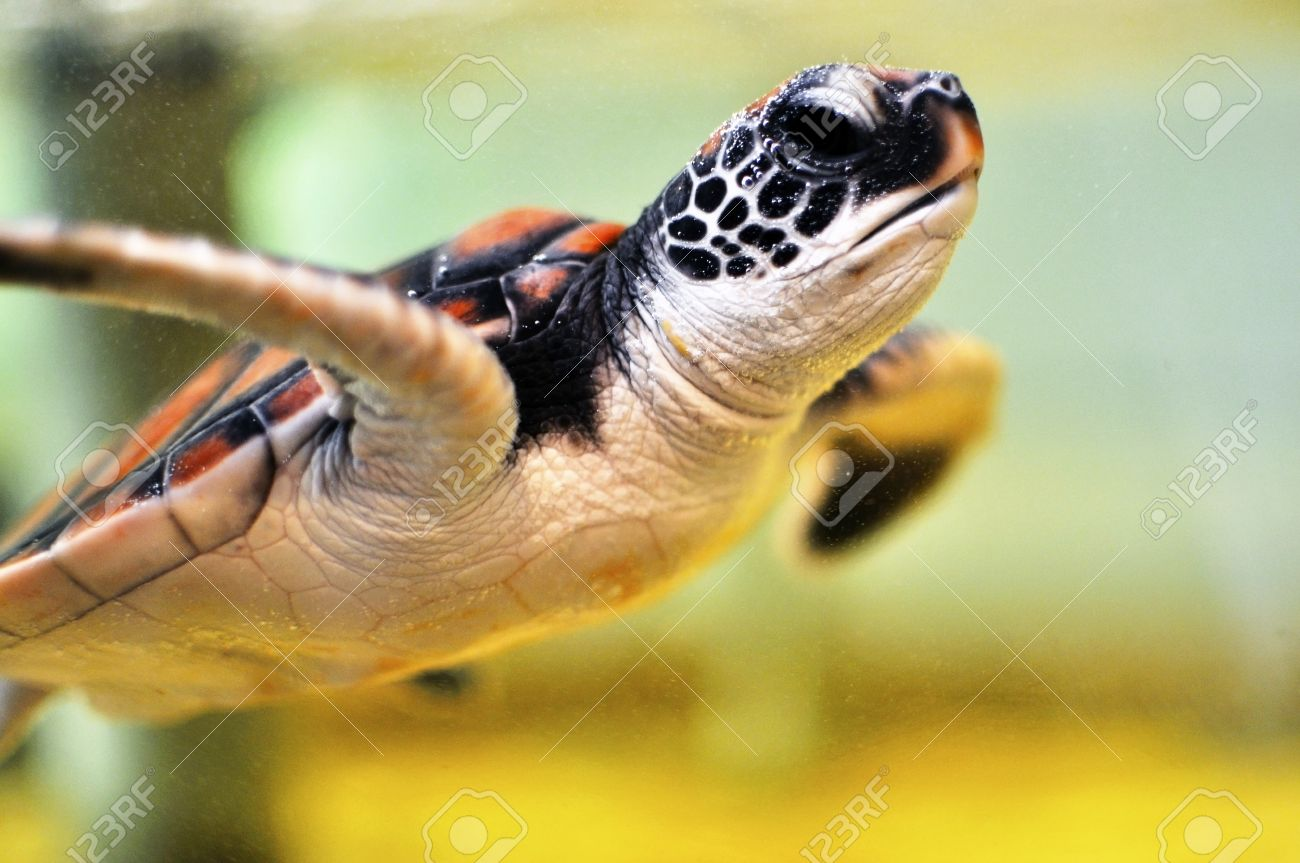 Baby Water Turtle Pictures Baby Sea Turtle Under Water
