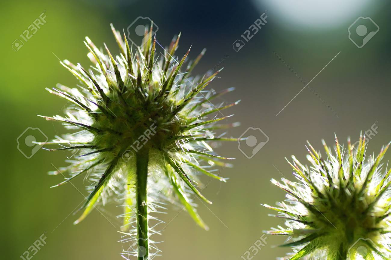 Closuep of the Flowers of Greater Burdock, also called Gobo or Beggar Stock Photo - 17601536