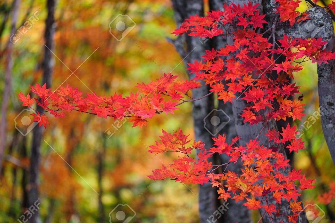autumn color of japanese maple in gifu prefecture japan stock