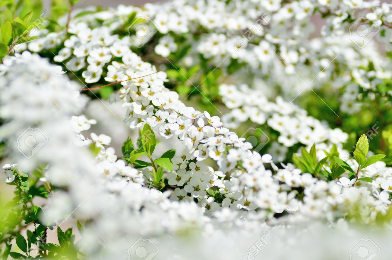 Spiraea thunbergii the small white flower taken in spring of the small white flower taken in spring of japan stock photo mightylinksfo