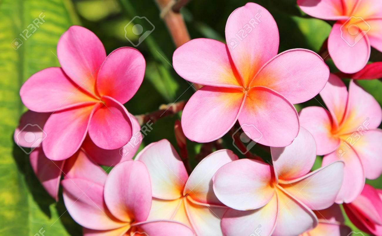 Pink plumeria flowers hawaii stock photo picture and royalty free pink plumeria flowers hawaii stock photo 27907114 izmirmasajfo
