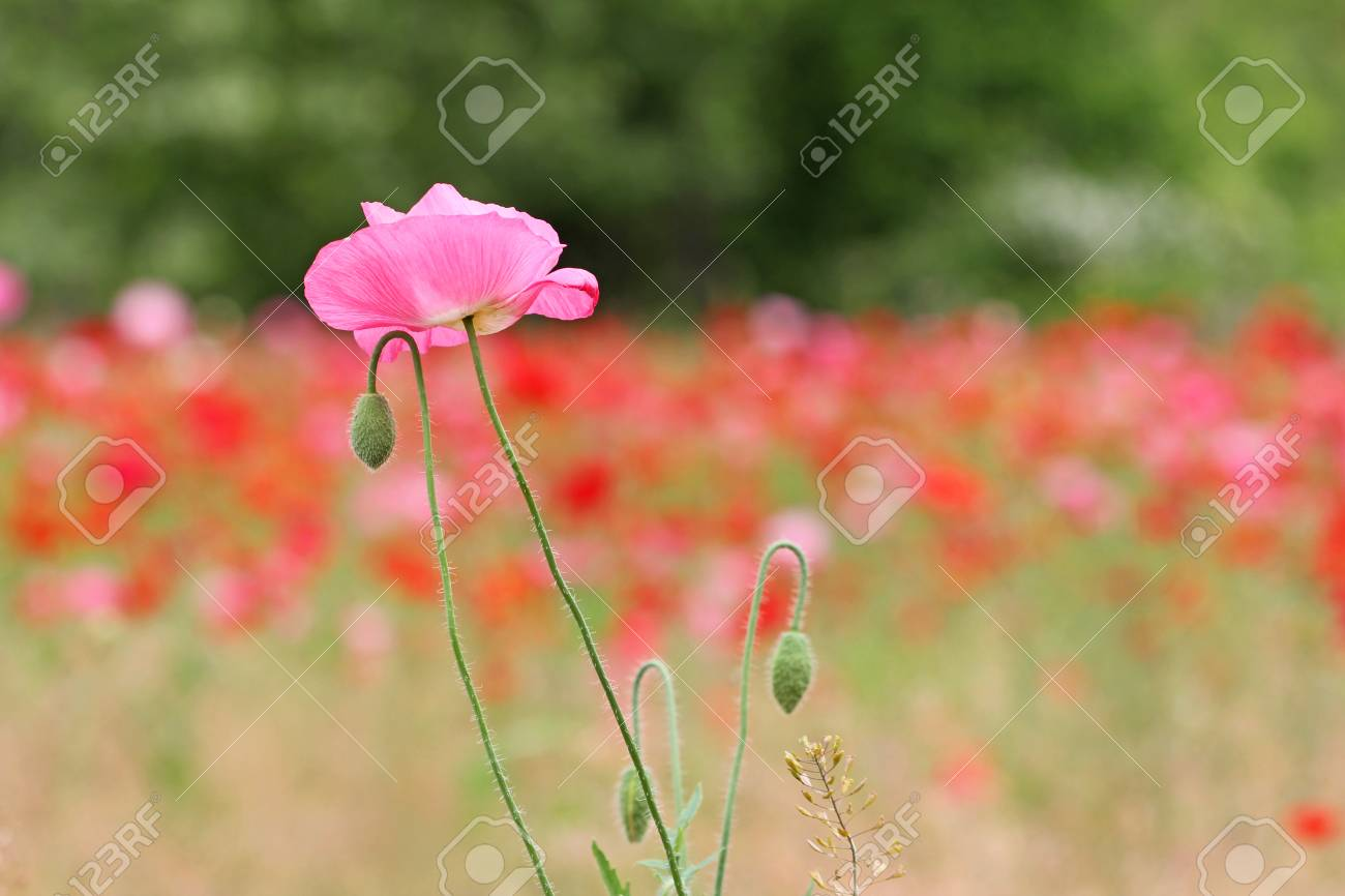 Pink Poppy Flower Stock Photo Picture And Royalty Free Image Image