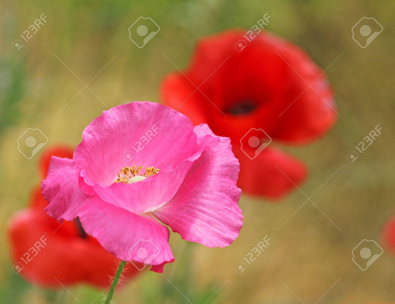 Pink Poppy Flower Close Up Stock Photo Picture And Royalty Free
