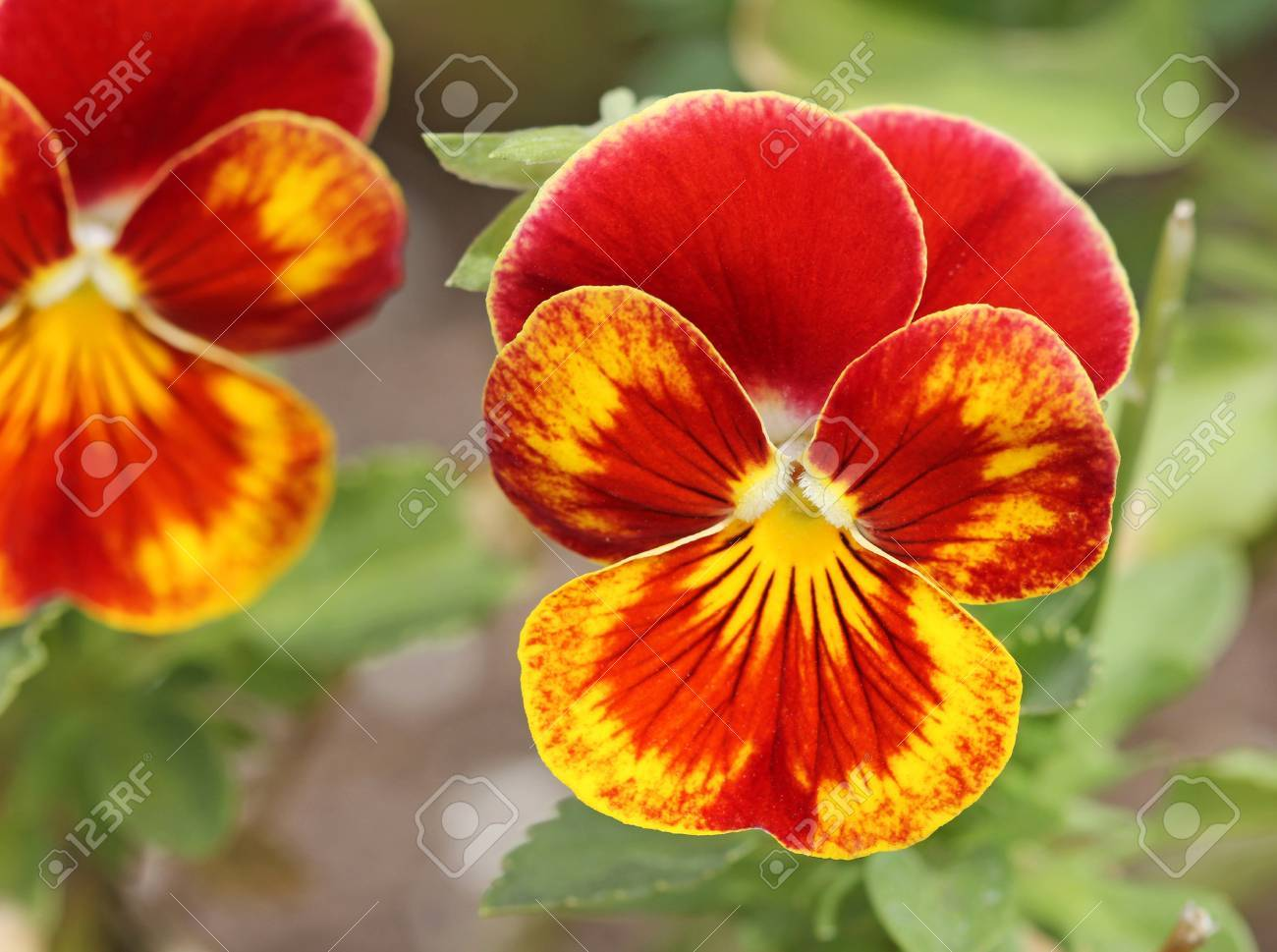 Red Yellow Pansy Flower Stock Photo Picture And Royalty Free Image