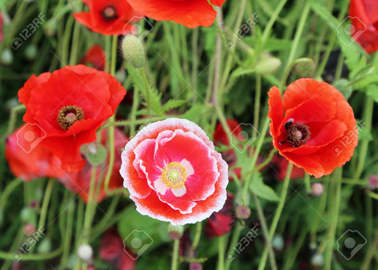 Red White Poppy Flowers Stock Photo Picture And Royalty Free Image