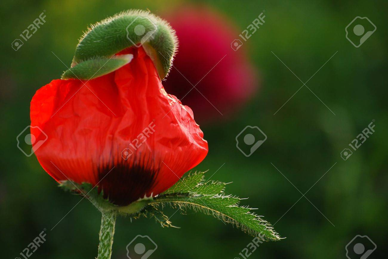 Green Bud Of A Poppy Flower With Young Red Crinkled Petals Stock