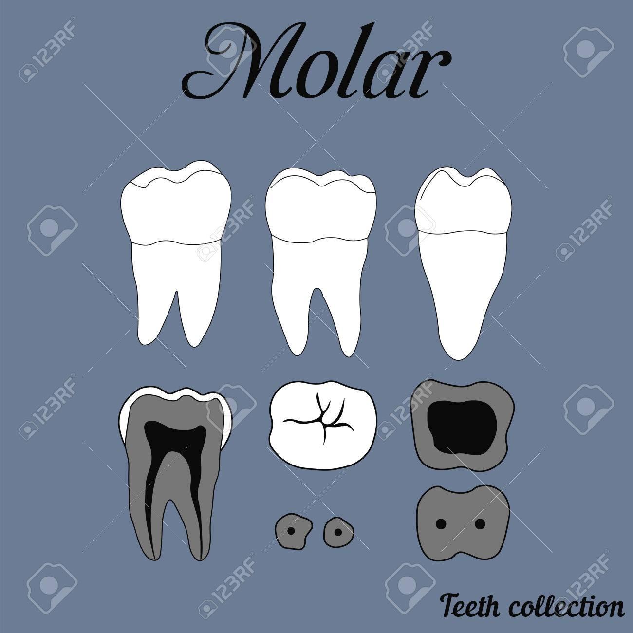 Human Tooth - Molar - Tooth Anatomy - Dentine, Enamel, Pulp ...