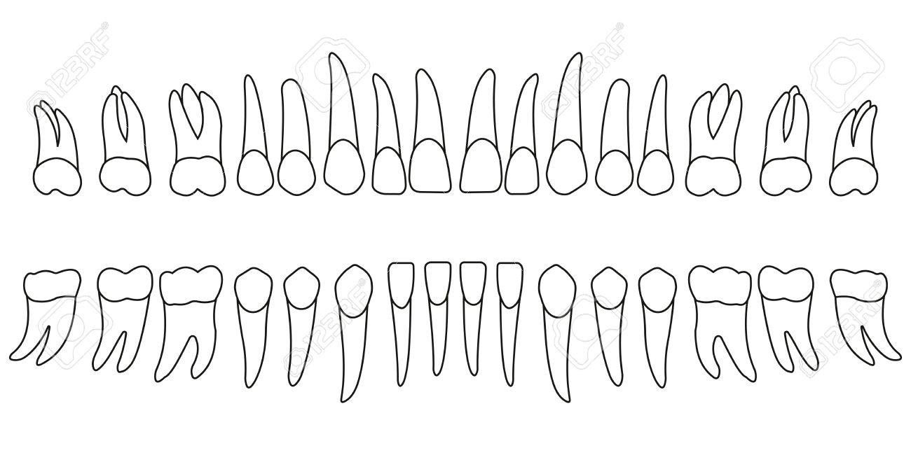 Set of teeth diagram front side of tooth of an adult chart set of teeth diagram front side of tooth of an adult chart vector ccuart Choice Image