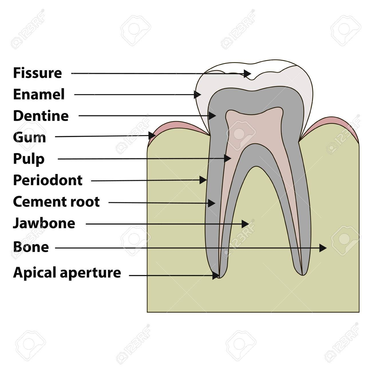 Anatomical structure of the tooth fissures enamel dentin gums anatomical structure of the tooth fissures enamel dentin gums pulpa periodont biocorpaavc Image collections