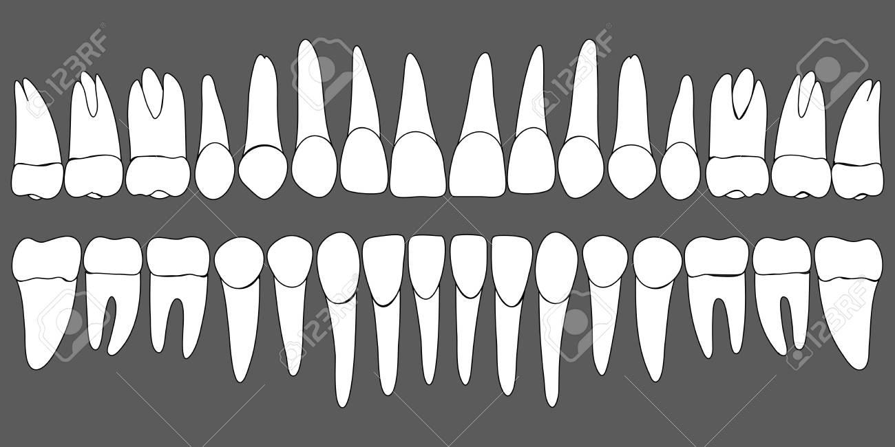 Conjunto De Plantilla Dental De Dientes Humanos Para Clínica Dental ...