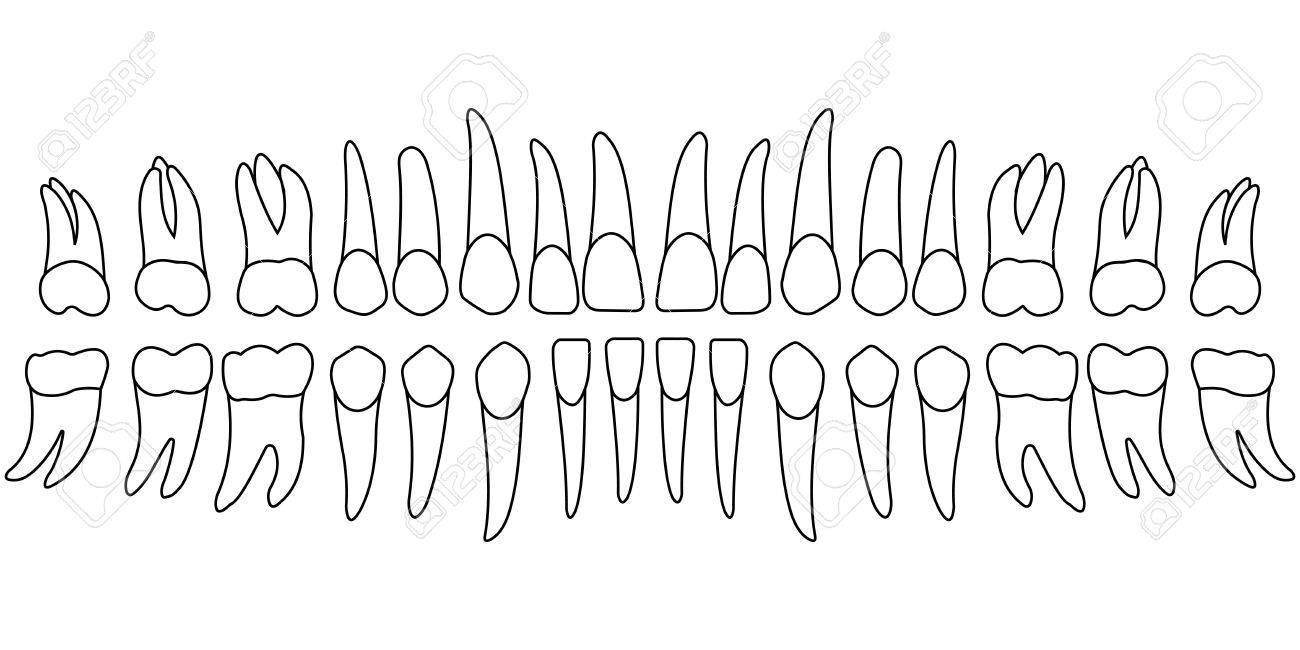Teeth Chart Tooth, The Front Side Of A Person\'s Teeth , Chart ...