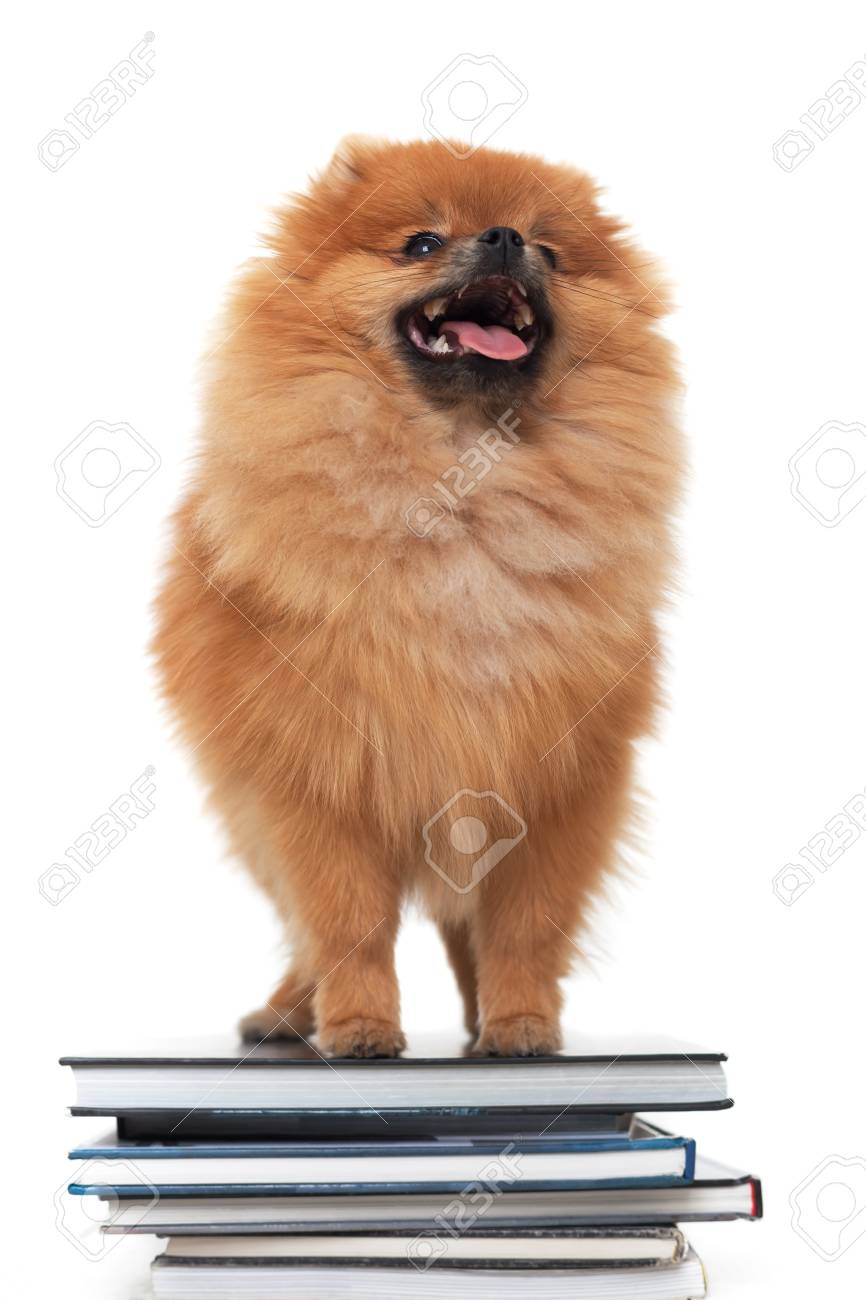 Pomeranian Dog Is Standing On A Pile Of Books Train A Puppy Stock Photo Picture And Royalty Free Image Image 75564672