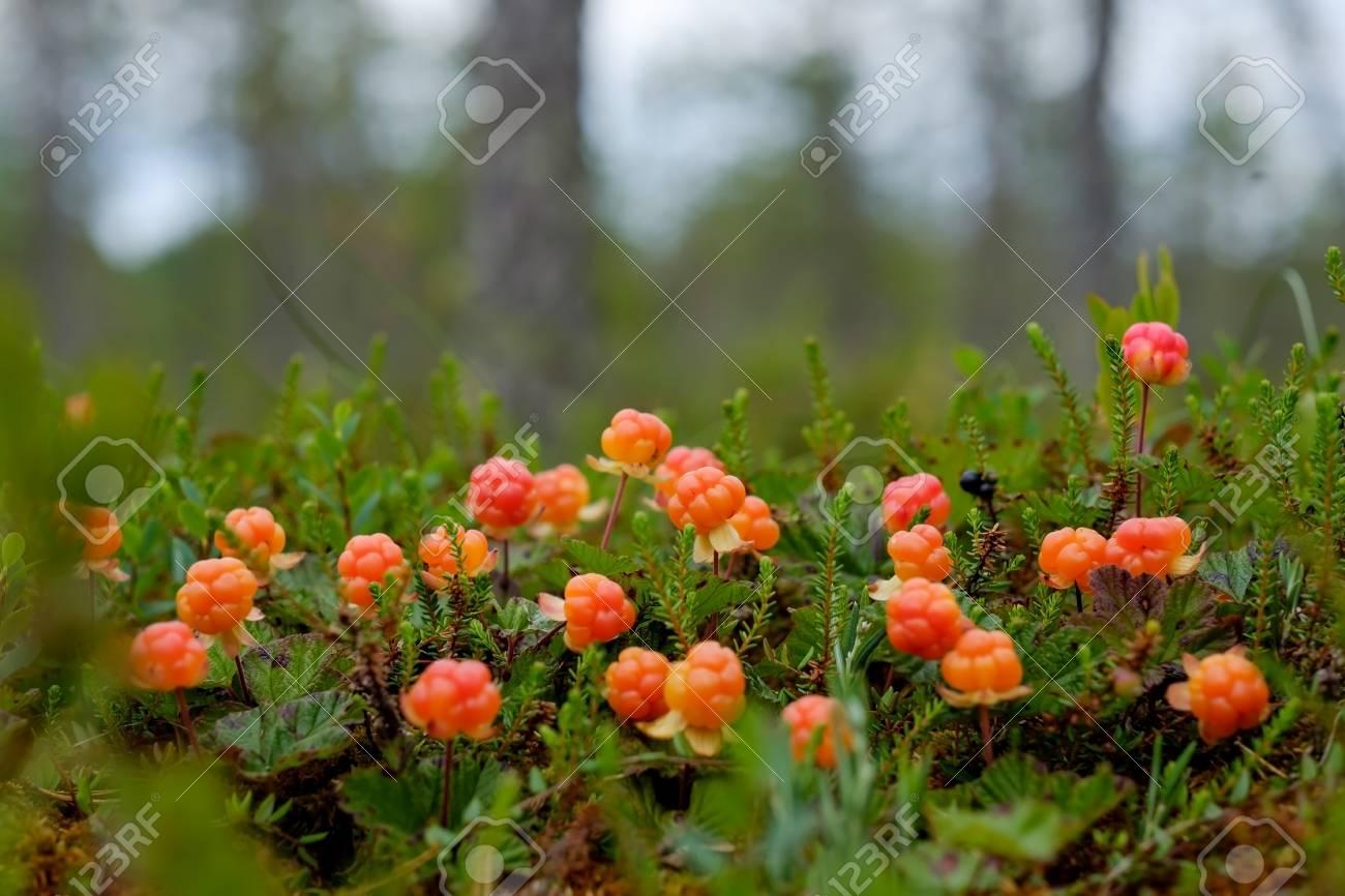 ロシアの森林を成長クラウドベリ...