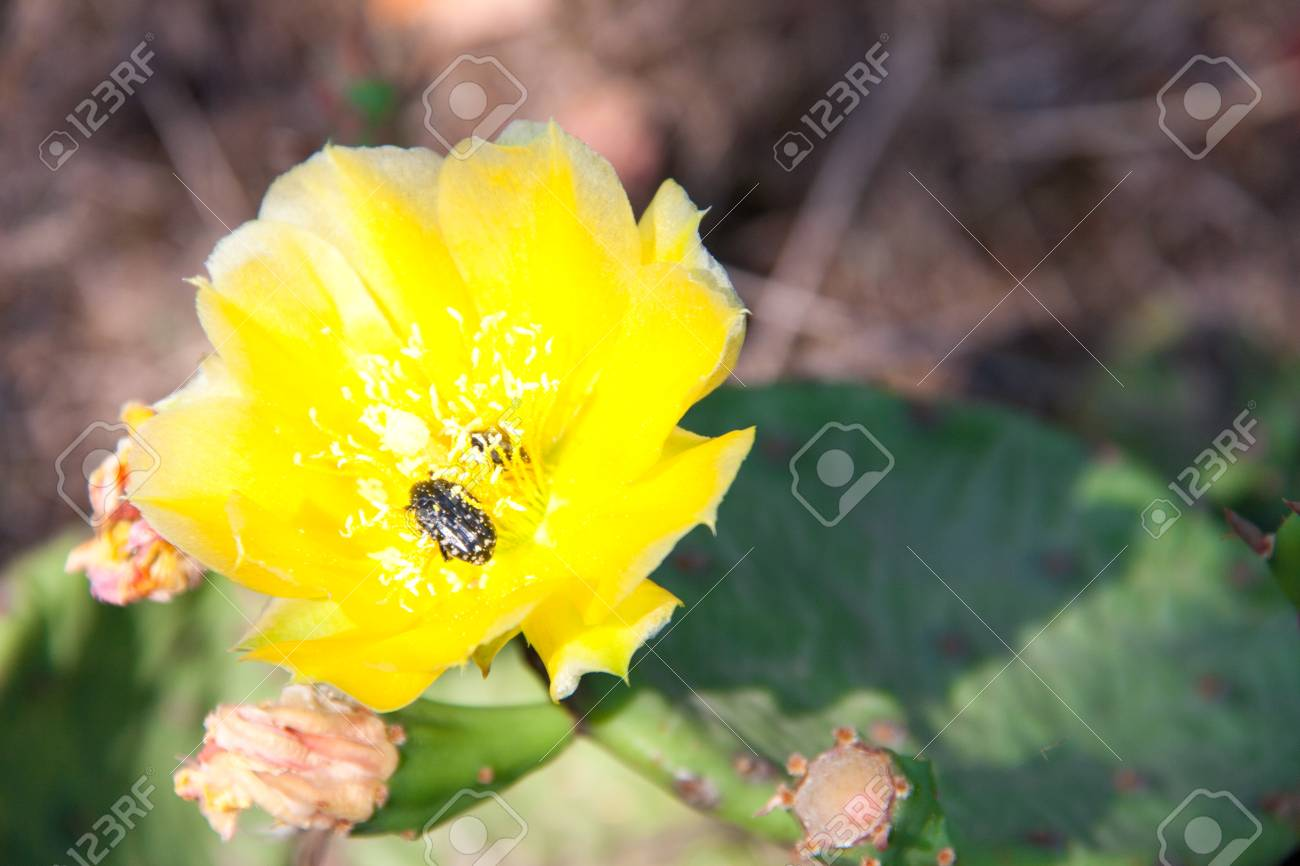 Yellow Cactus Flower With Beetle Close Up Macro Stock Photo