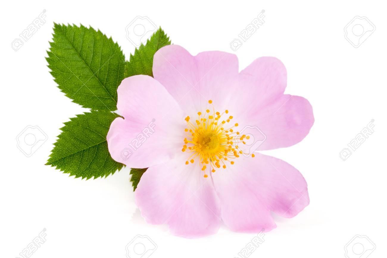 Fleur De Rose Musquee Avec Feuille Isole Sur Fond Blanc Banque D