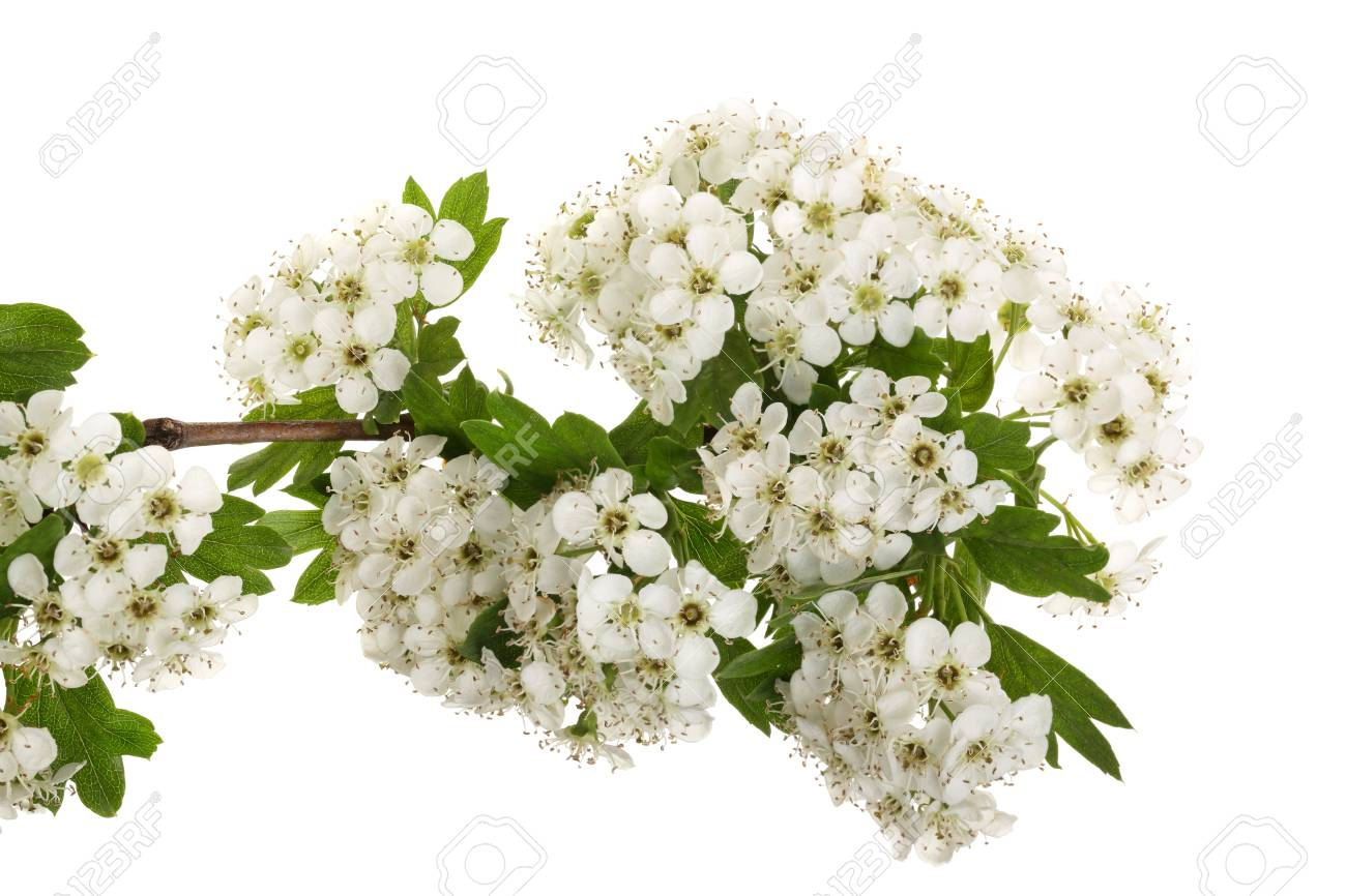 Hawthorn Or Crataegus Monogyna Branch With Flowers Isolated On
