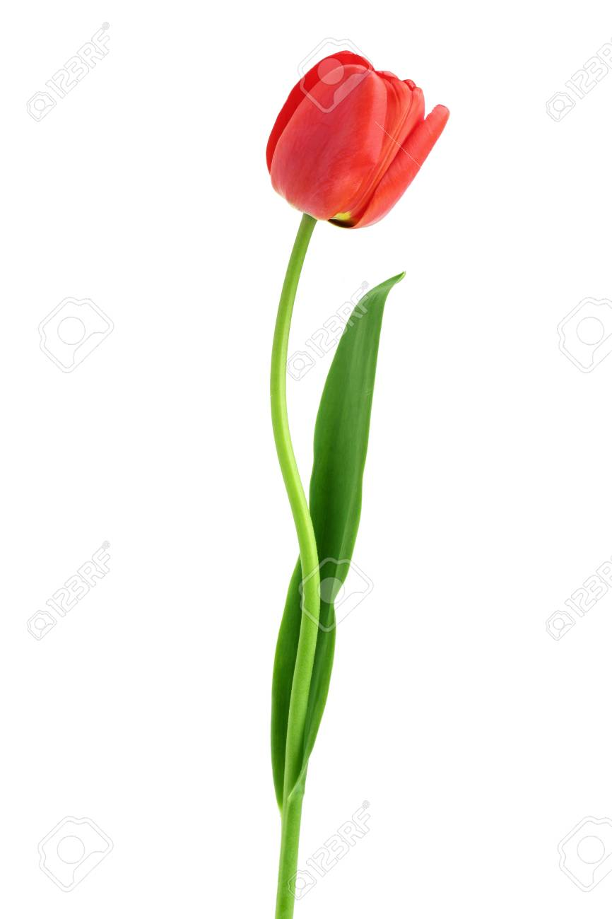 red tulips isolated on white background. Top view. Flat lay pattern. - 101963833
