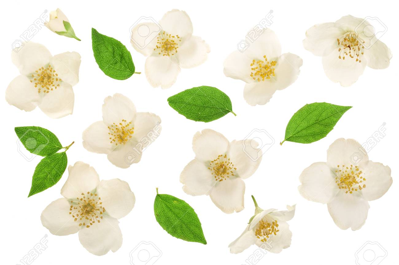 jasmine flower decorated with green leaves isolated on white background closeup - 102835967