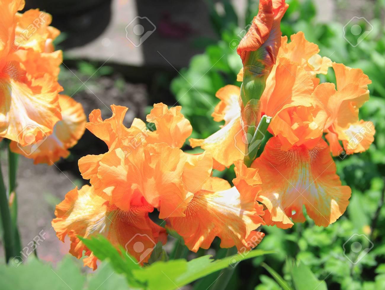 Iris yellow orange flower plant latin name iris outdoors stock iris yellow orange flower plant latin name iris outdoors full of bud mightylinksfo