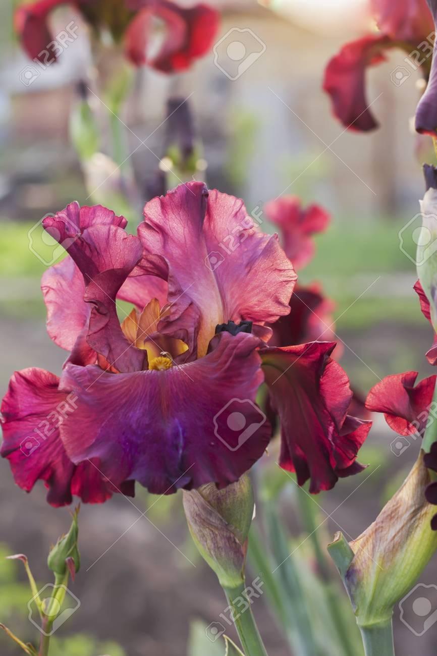 Iris Flowerbed Flowers Perennial Spring Flower Soft Focus Stock