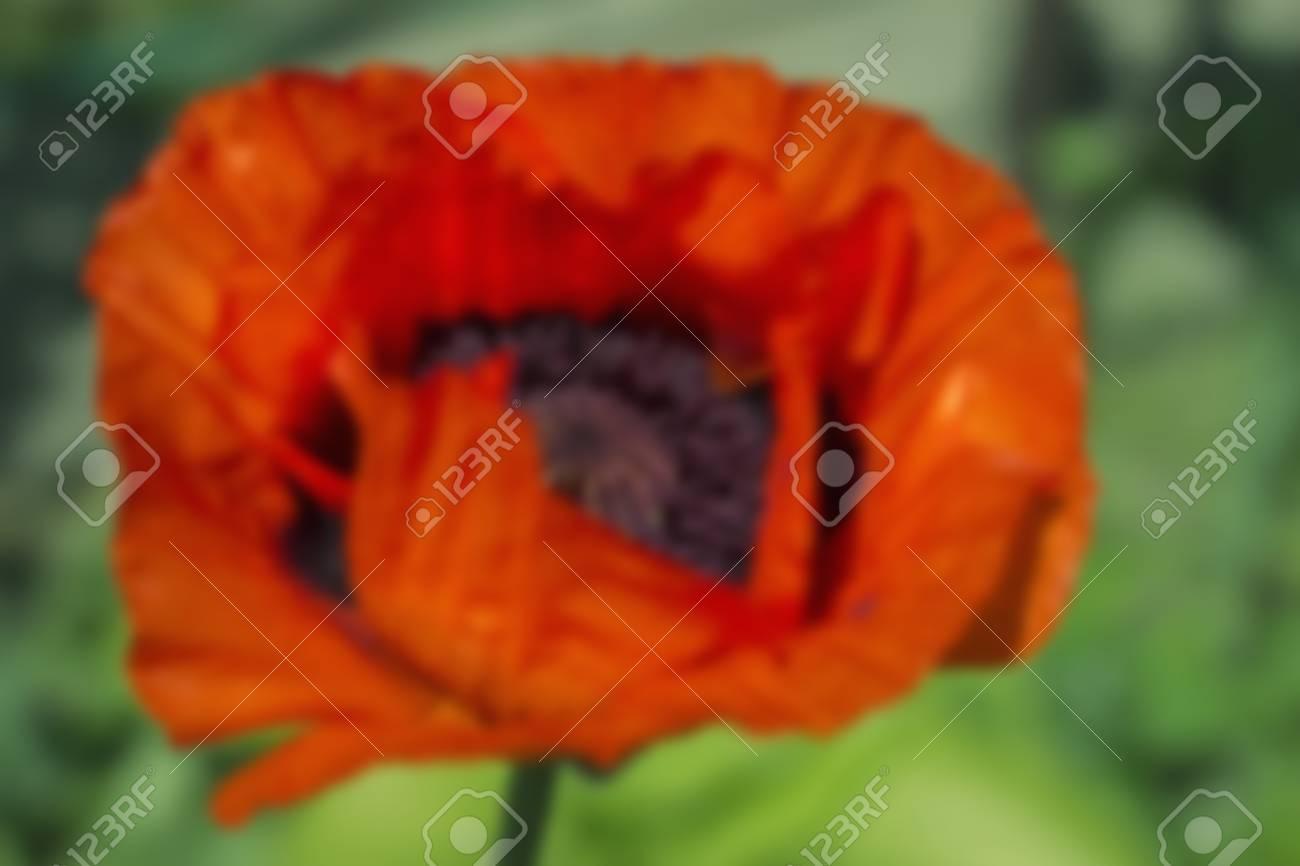 Red Poppy Flowers Poppy Flower Bud On Green Background Blurred