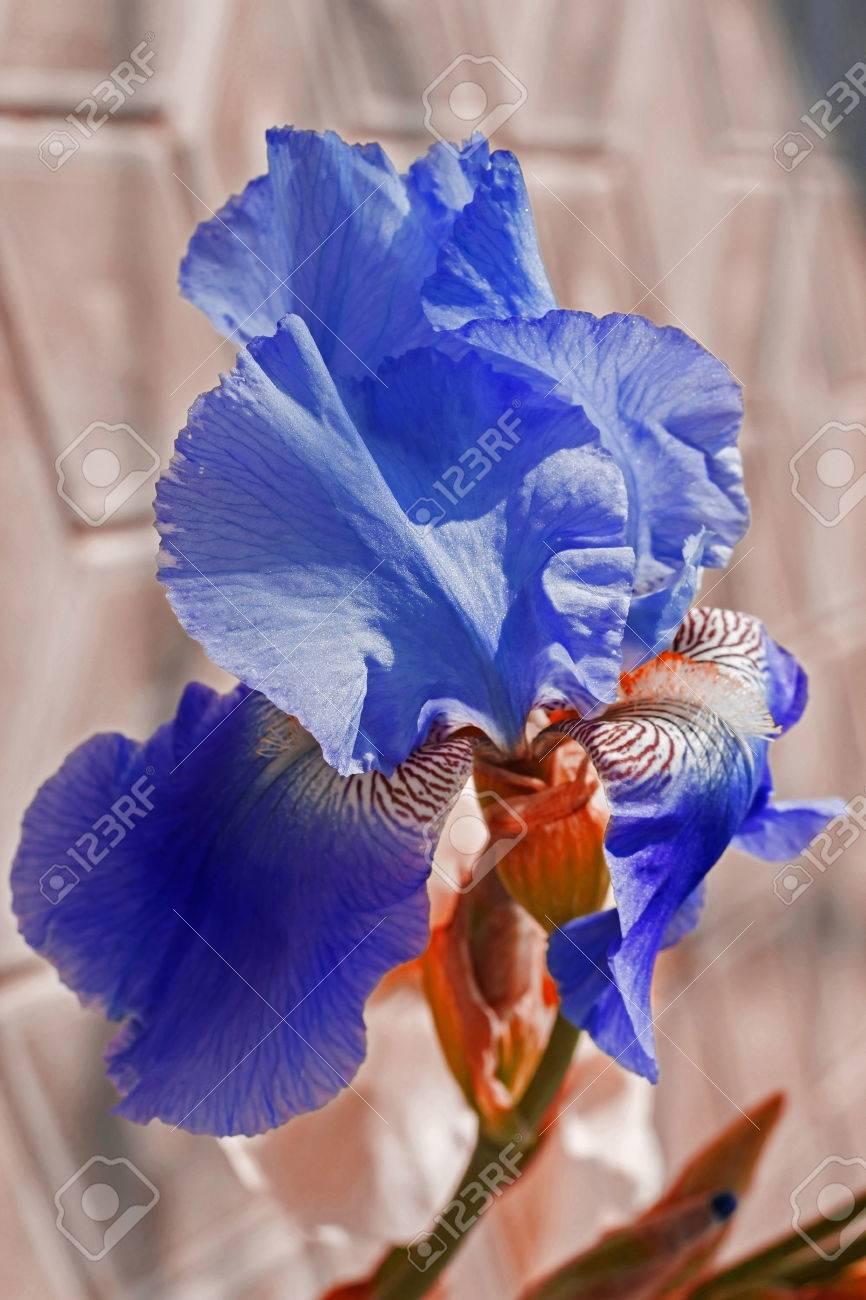 Iris Purple Flowerbed Flowers Perennial Spring Flower Soft