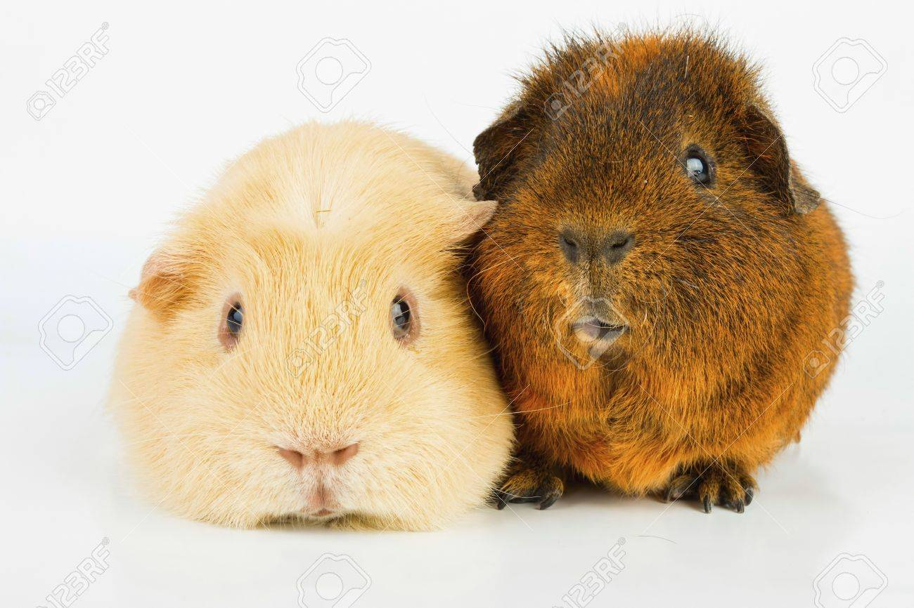 Beautiful Guinea pig. Stock image, macro shot. Banque d'images - 66190294