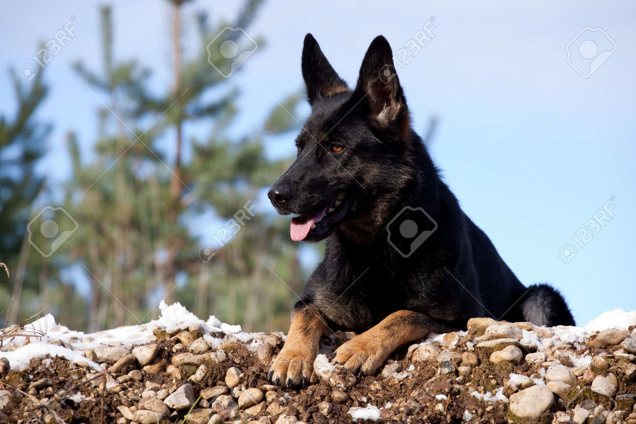 Black German Shepherd Laying On The Snow Stock Photo Picture And